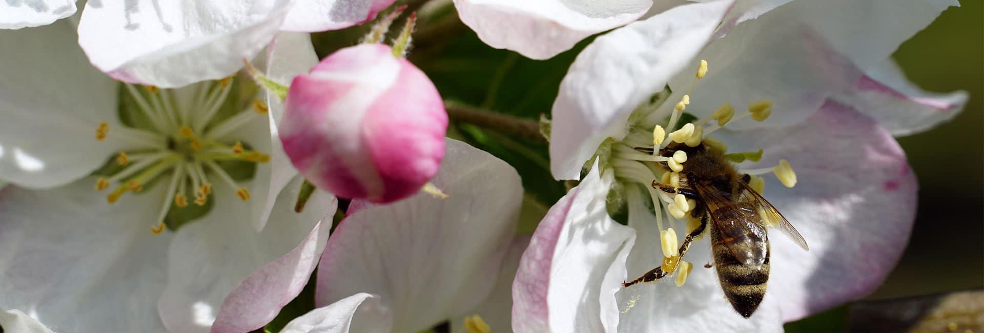 Biene in einer Blüte