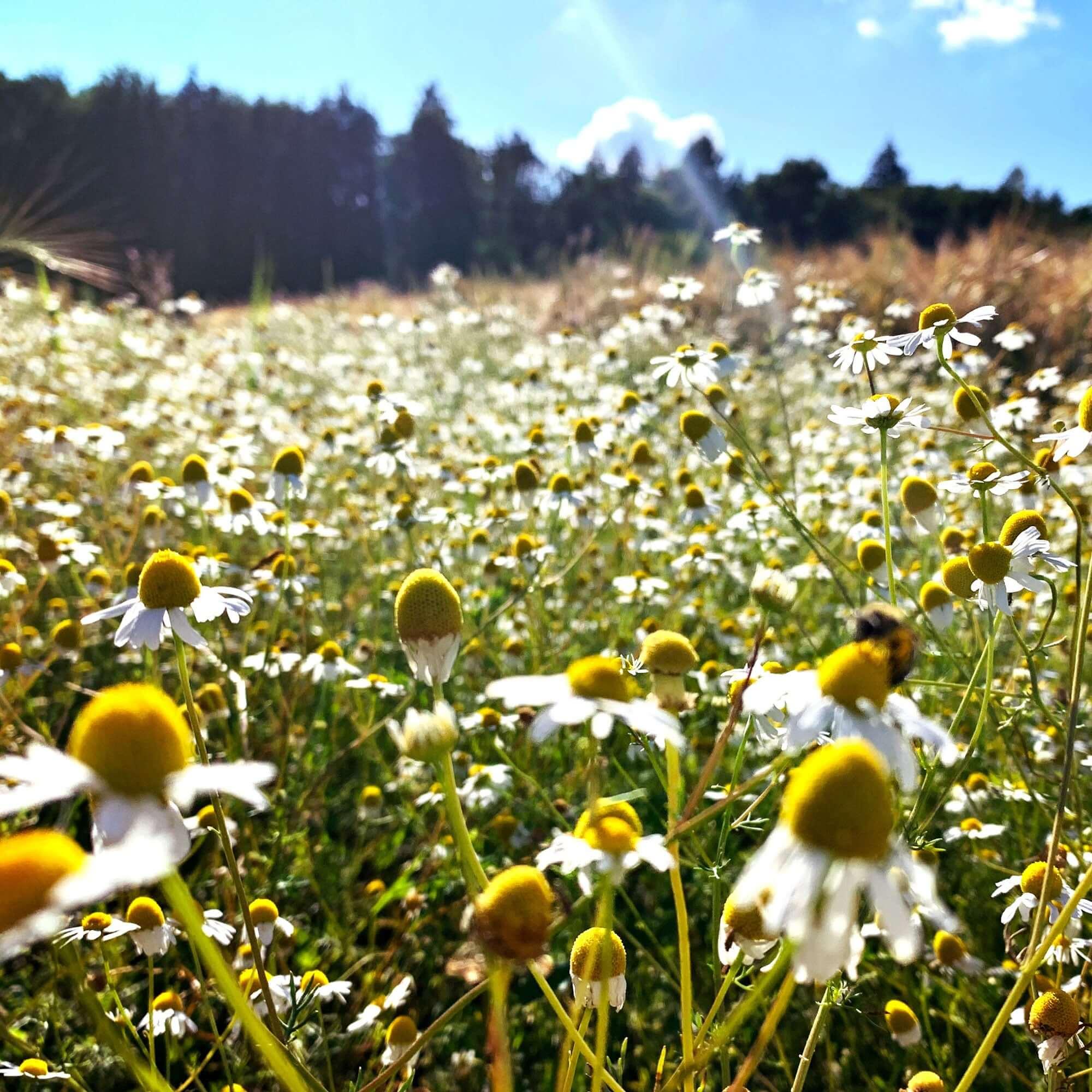 Bienenwiese im Sommer
