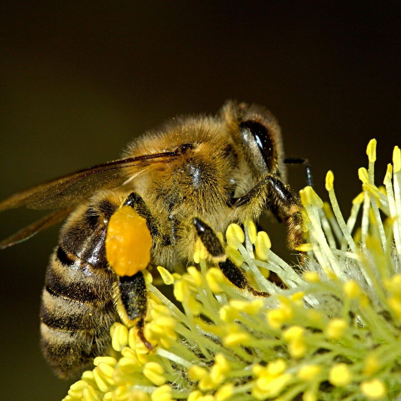 Biene bestäubt Blüte